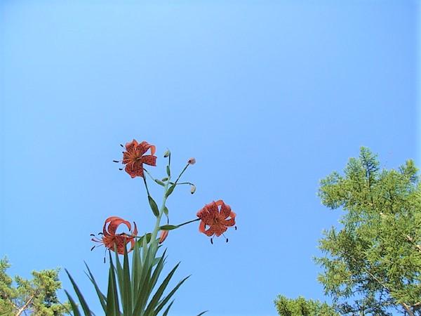 八ヶ岳・富士見高原の宿/ユリの花